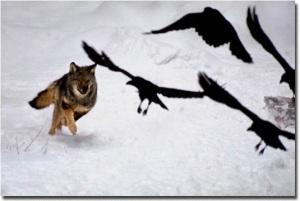 Wolf chasing ravens by jimbrandenburg