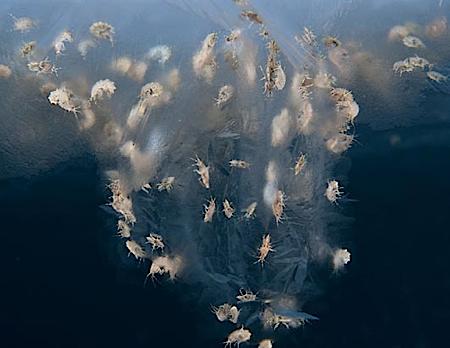 Amphipods_Harper.jpg