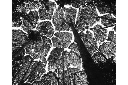Franklin Trees 02