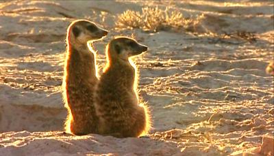 Meerkat2.jpg